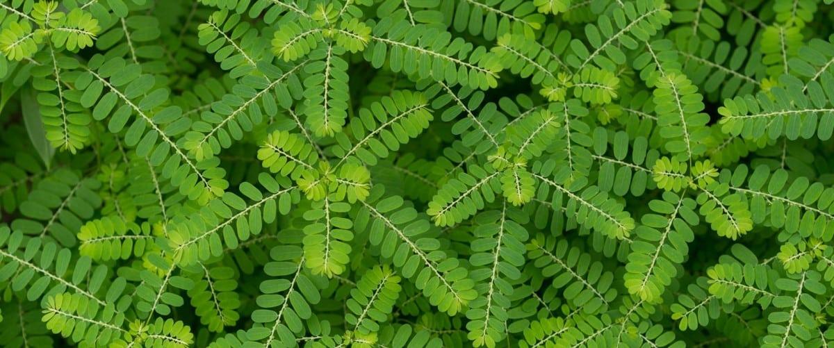 Chancapiedra: la planta que ayuda a combatir los cálculos renales