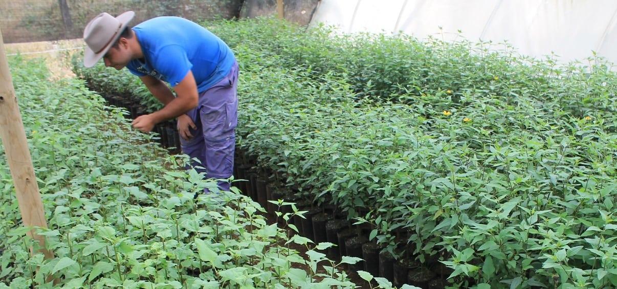 Palo Negro: arbusto chileno que previene el cáncer y la diabetes tipo2